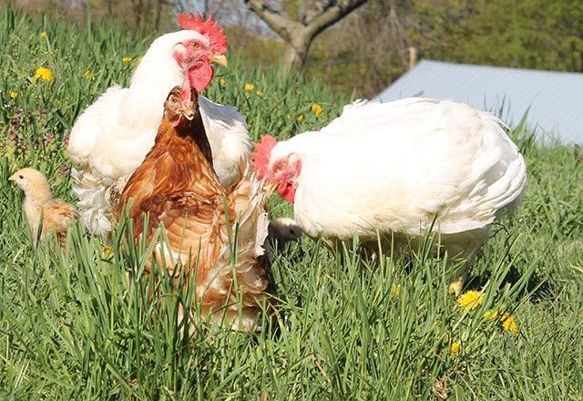 Baffoni Poultry Farm